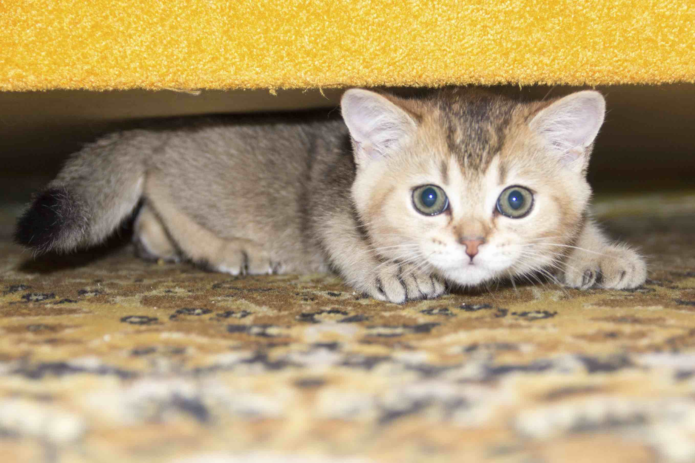 Kitten under the sofa